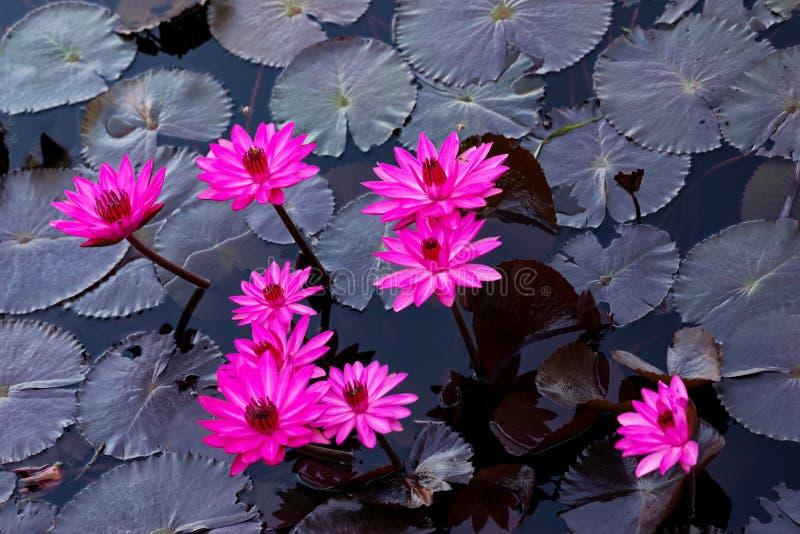 Różowi wodni lillies w naturalnym stawie w Trinidad i Tobago zdjęcia royalty free