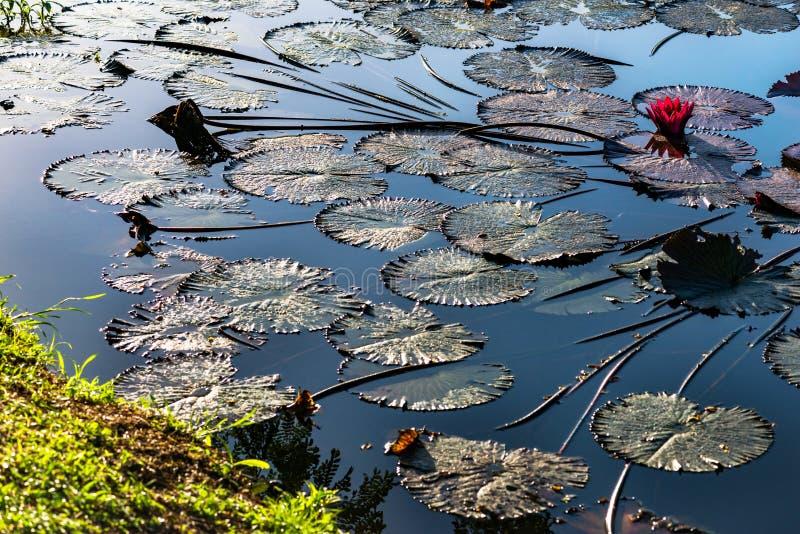 Różowi wodni lillies w naturalnym stawie w Trinidad i Tobago obrazy royalty free