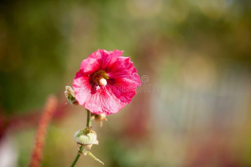 Różowy ślaz, różowy hollyhock obraz stock