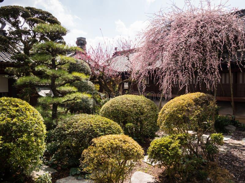 Różowy śliwkowy drzewo kwitnie w tradycyjnym japończyka ogródzie fotografia stock