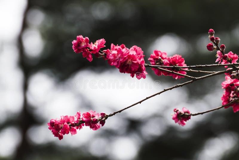 Różowy Śliwkowy kwiat zdjęcie stock