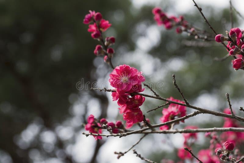 Różowy Śliwkowy kwiat fotografia stock
