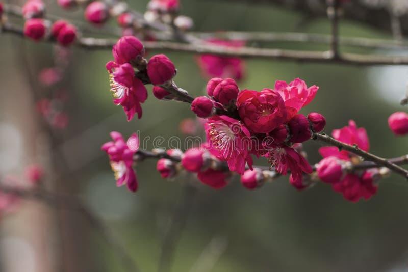 Różowy Śliwkowy kwiat obraz royalty free