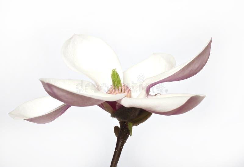 Różowy abloom magnoliowy kwiat zdjęcia royalty free