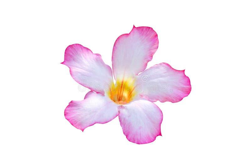 Różowy adenium obesum kwiat na białym tle royalty ilustracja