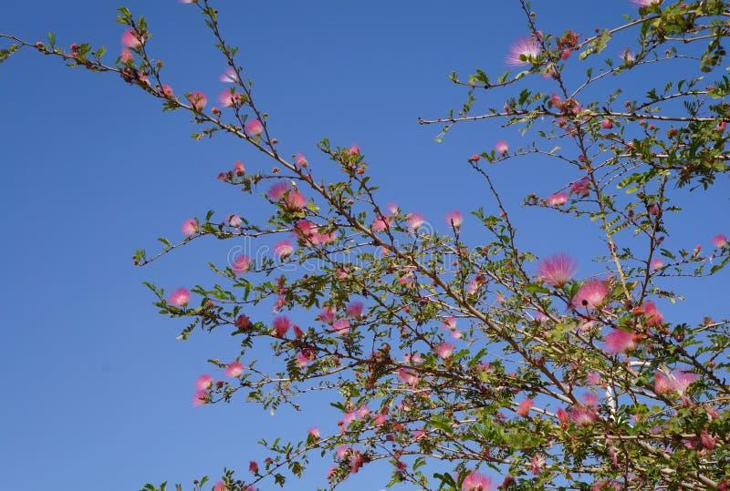 Różowy akacjowy okwitnięcie zdjęcie stock