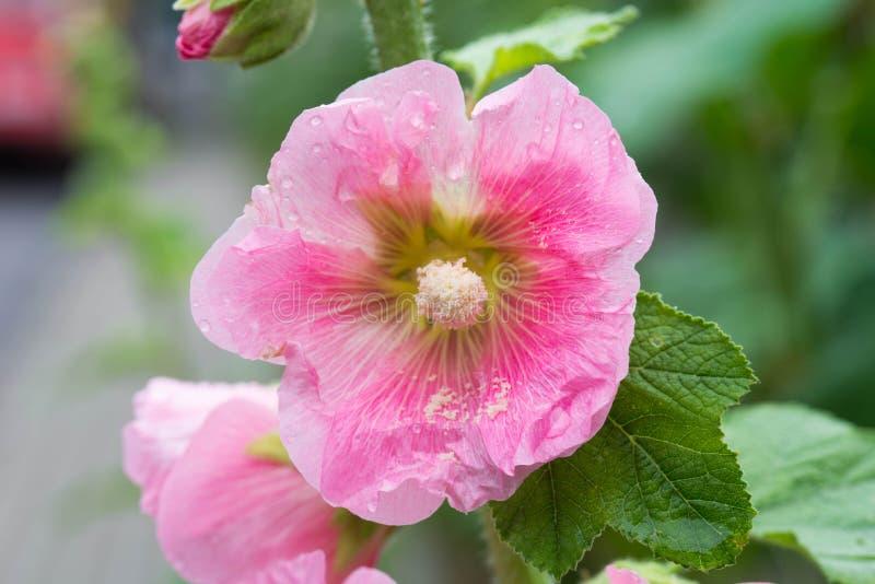 Różowy alcea, hollyhock kwitnie zbliżenie zdjęcia stock