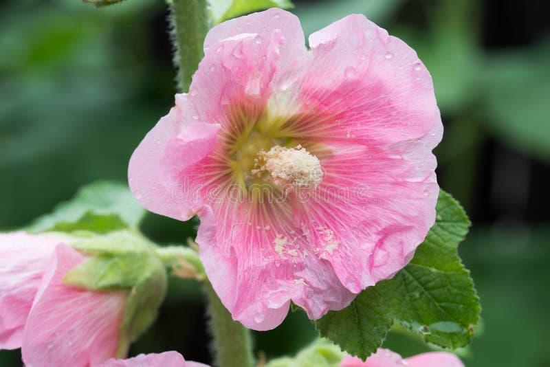 Różowy alcea, hollyhock kwitnie zbliżenie zdjęcie stock