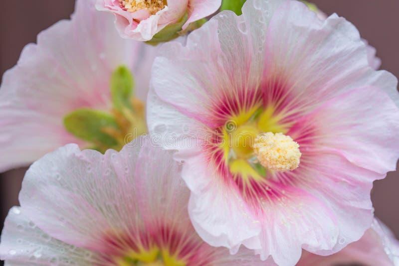 Różowy alcea, hollyhock kwitnie zbliżenie obraz royalty free