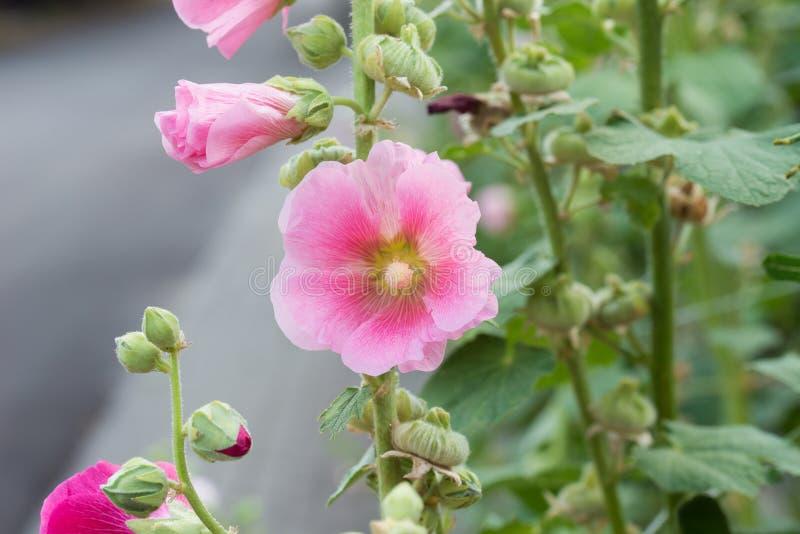 Różowy alcea, hollyhock kwitnie zbliżenie fotografia stock