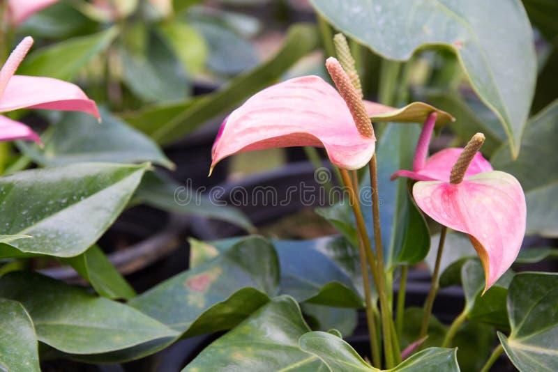 Różowy Anthurium zdjęcia royalty free