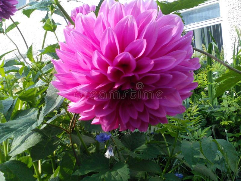Różowy aster obrazy royalty free