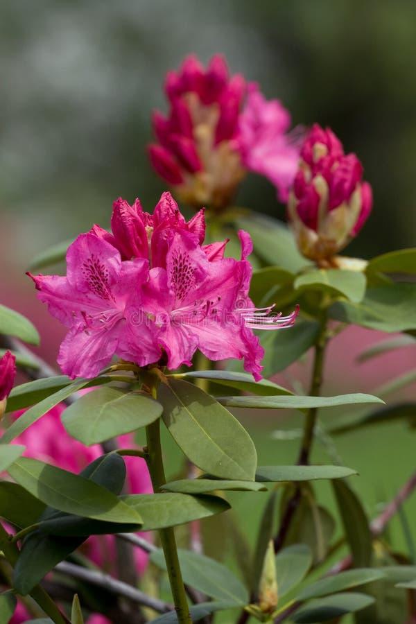 różowy azalia różanecznik obraz royalty free