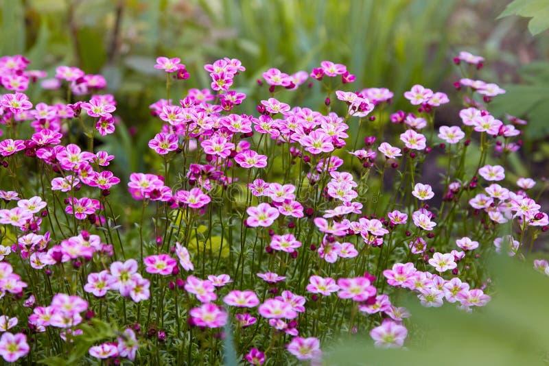 Różowy badanu Saksifraga Arendsii dorośnięcie w ogródzie fotografia royalty free