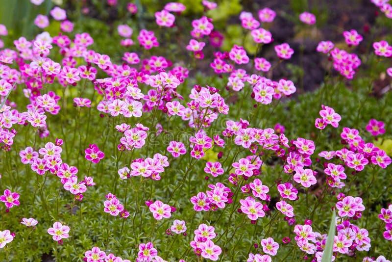 Różowy badanu Saksifraga Arendsii dorośnięcie w ogródzie obraz stock