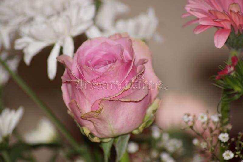 Różowy belle kolor menchie Frontowy widok zdjęcie royalty free