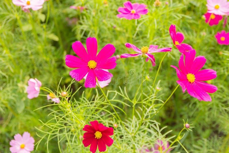 Różowy biały i czerwony kosmosów kwiatów ogród, Rozmyty miękka ostrość fotografia stock