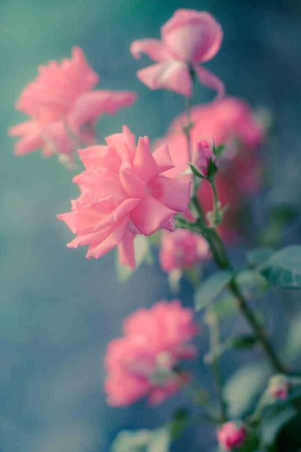 Różowy blady róża krzak z magicznym światłem w lato ogródzie obraz royalty free