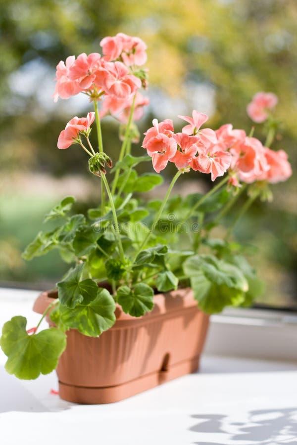 Różowy bodziszek w kwiatu garnku obraz royalty free