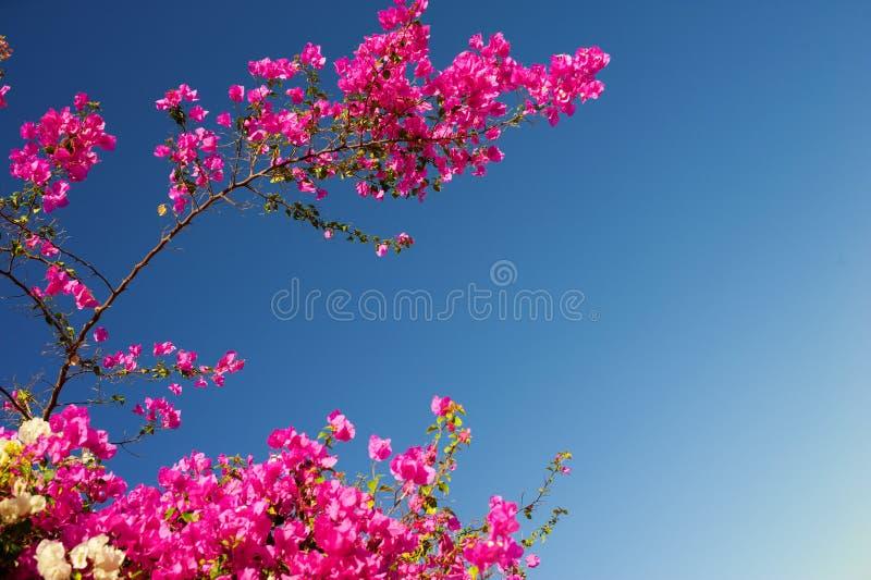 Różowy bougainvillea kwiecenie rozgałęzia się na tle niebieskie niebo zdjęcie royalty free