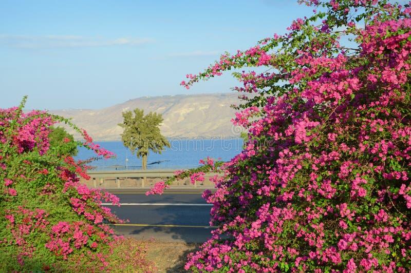 Różowy bougainvillea na brzeg Kineret, jezioro zdjęcia stock
