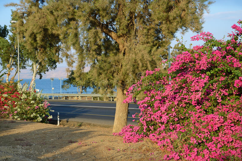 Różowy bougainvillea na brzeg Kineret, jezioro zdjęcie royalty free