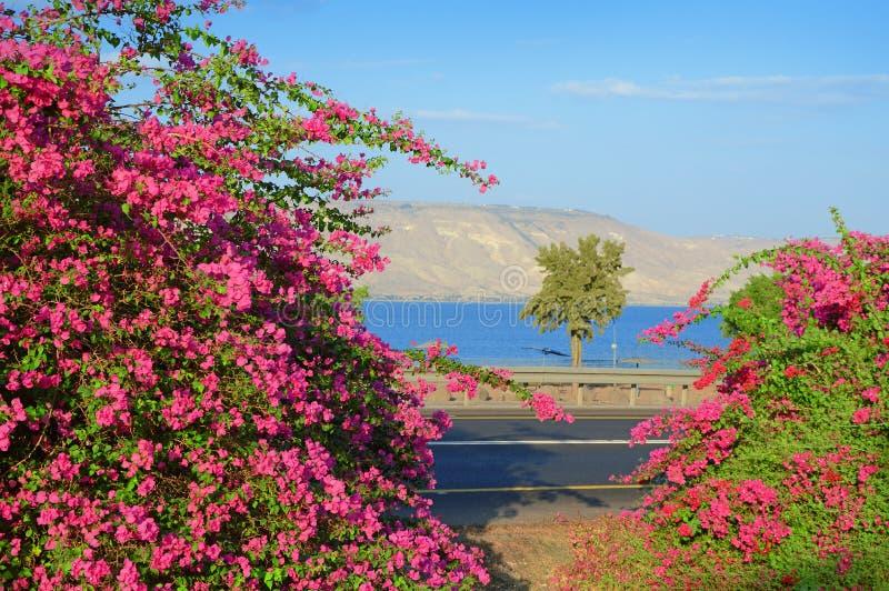 Różowy bougainvillea na brzeg Kineret, jezioro fotografia royalty free