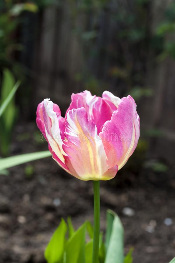 Różowy brindled tulipanowy zbliżenie w ogródzie obrazy royalty free
