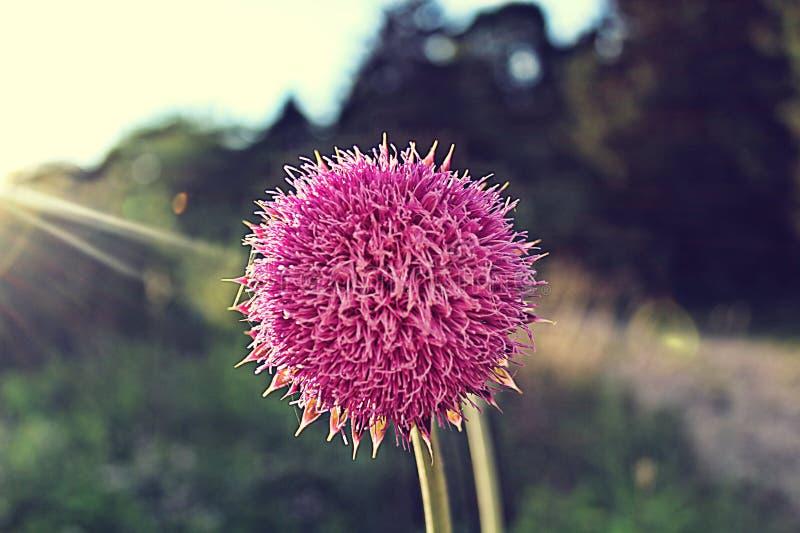 Różowy bufiasty kwiat fotografia stock