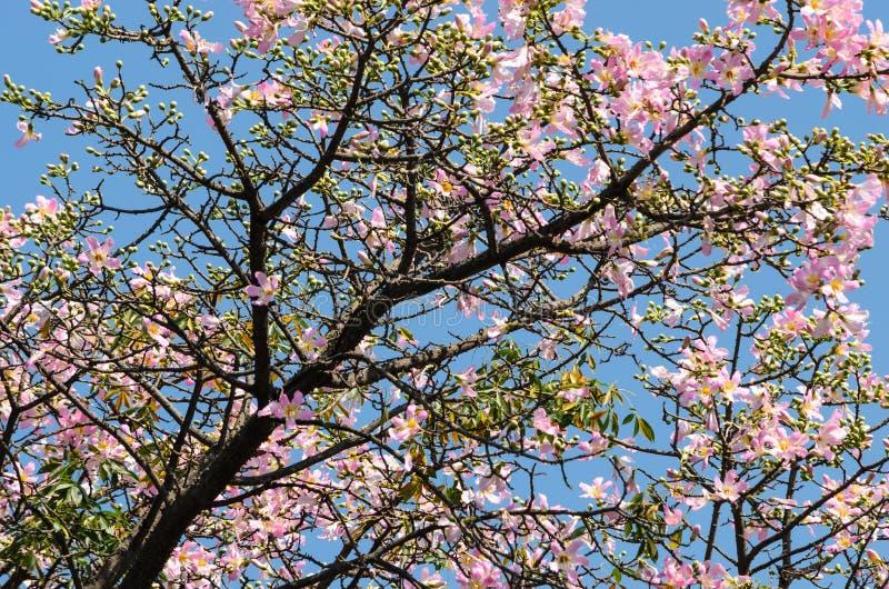Różowy ceiba speciosa obrazy stock