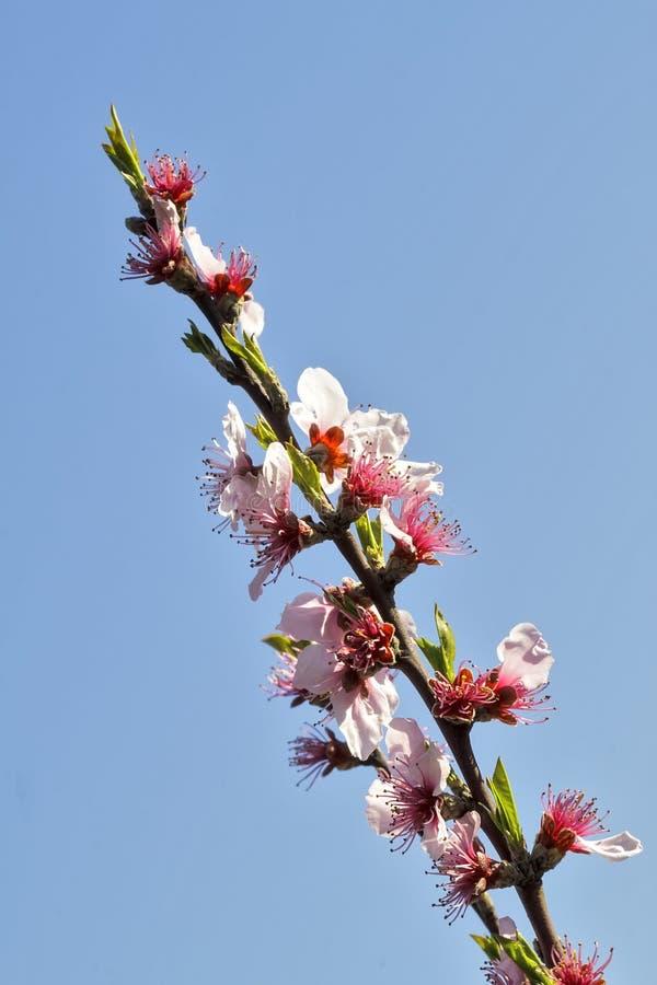 Różowy cherrys okwitnięcie fotografia stock