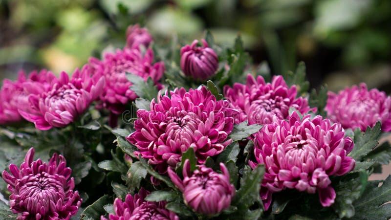 Różowy chryzantema kwiat w kwiacie zdjęcia stock