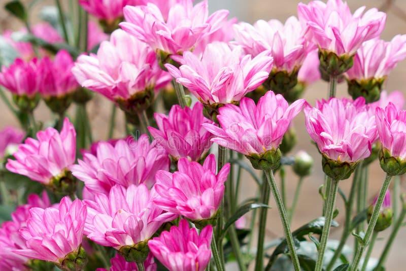 Różowy chryzantema kwiatu okwitnięcie obrazy royalty free