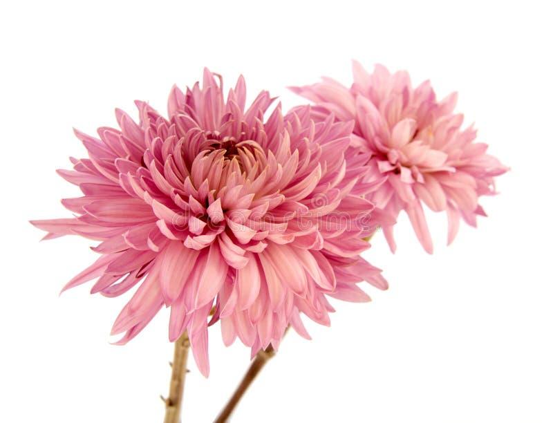 Różowy chryzantemy floweon obraz royalty free