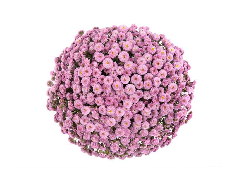 Różowy chryzantemy w postaci kuli wyizolowanej na białym fotografia royalty free