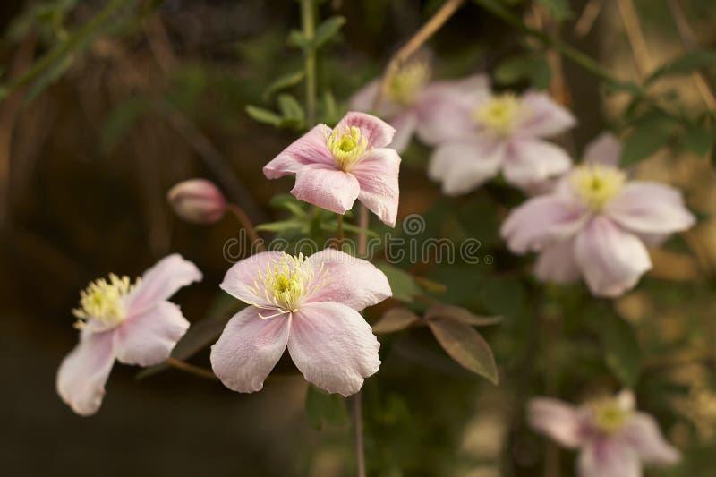 różowy clematis zdjęcie stock