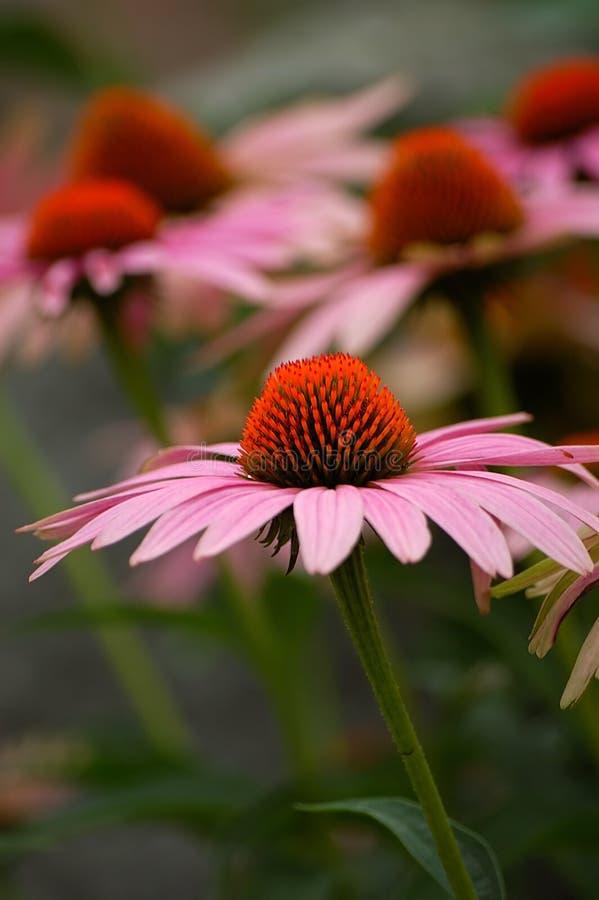 różowy coneflower zdjęcie royalty free