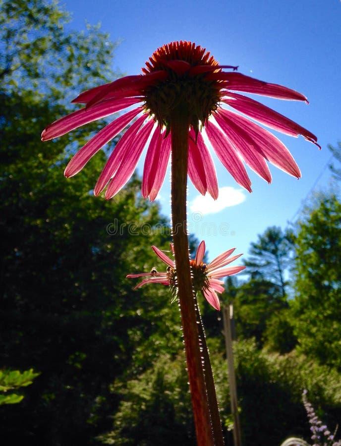 Różowy Coneflower fotografia stock