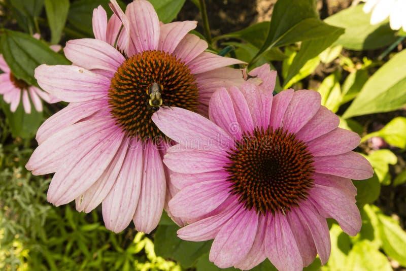 Różowy Coneflower Dostaje Zapylający (Echinacea) obraz royalty free