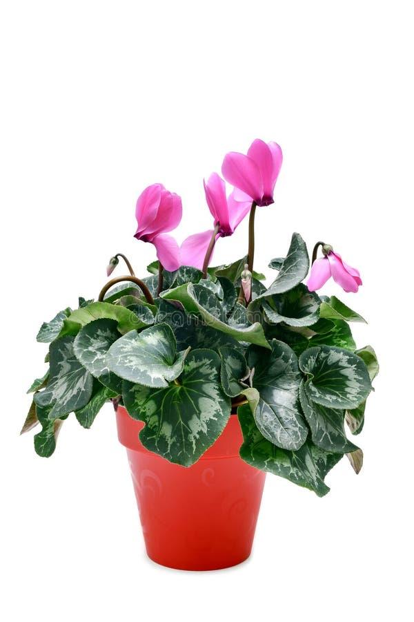 różowy cyklamen zdjęcia royalty free