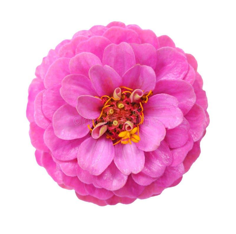 Różowy cynia kwiat fotografia stock