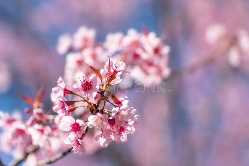 Różowy czereśniowy okwitnięcie, piękni kwiaty w wiośnie obraz royalty free