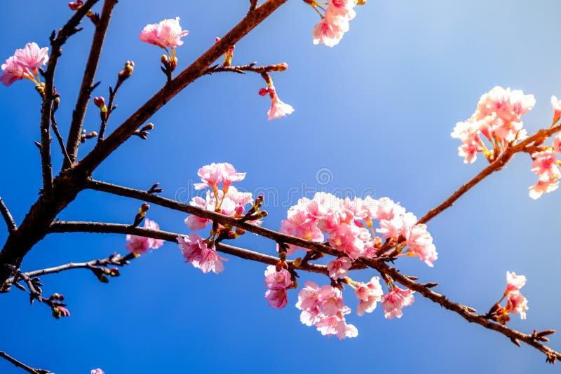 Różowy Czereśniowy okwitnięcie Przeciw niebieskiemu niebu zdjęcie royalty free
