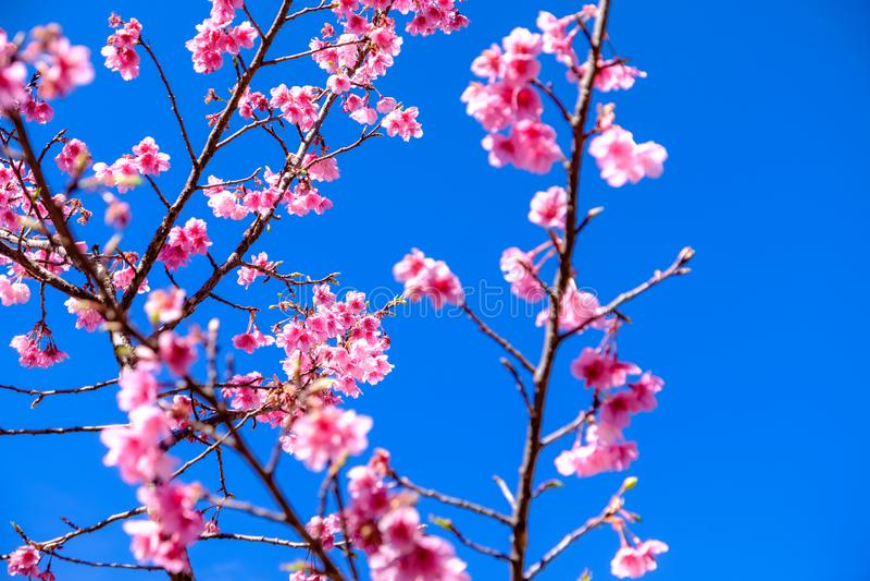Różowy Czereśniowy okwitnięcie Przeciw niebieskiemu niebu fotografia stock