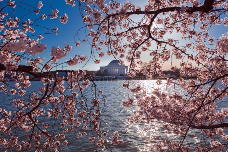 Różowy Czereśniowy okwitnięcie przy Pływowym basenem podczas rocznego festiwalu w washington dc z Thomas Jefferson pomnikiem w tl obrazy royalty free
