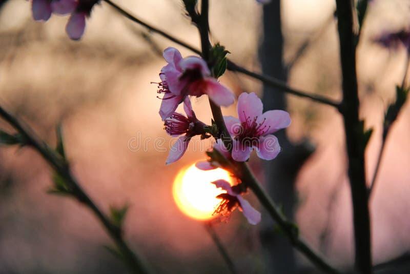 Różowy Czereśniowy okwitnięcie z Pomarańczowym zmierzchem zdjęcia stock