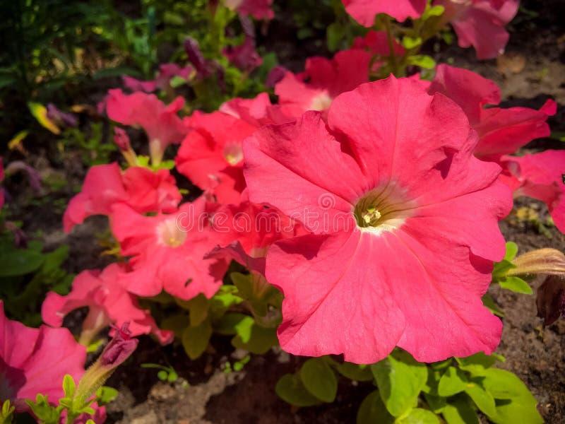 Różowy czerwony kwiat w ogródzie fotografia royalty free