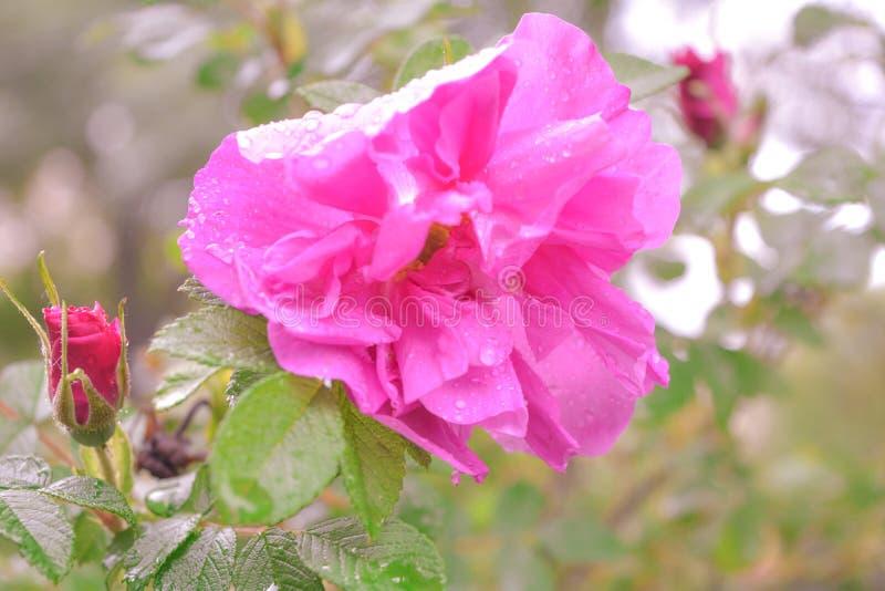 Różowy Dogrose, wrzosa eglantine kwiat Dziki Różany biodra zbliżenie zdjęcie royalty free