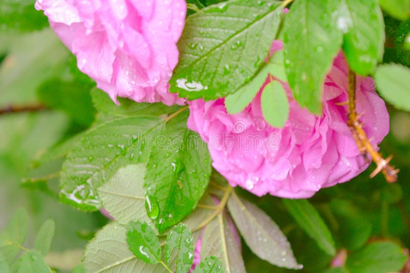 Różowy Dogrose, wrzosa eglantine kwiat Dziki Różany biodra zbliżenie fotografia royalty free