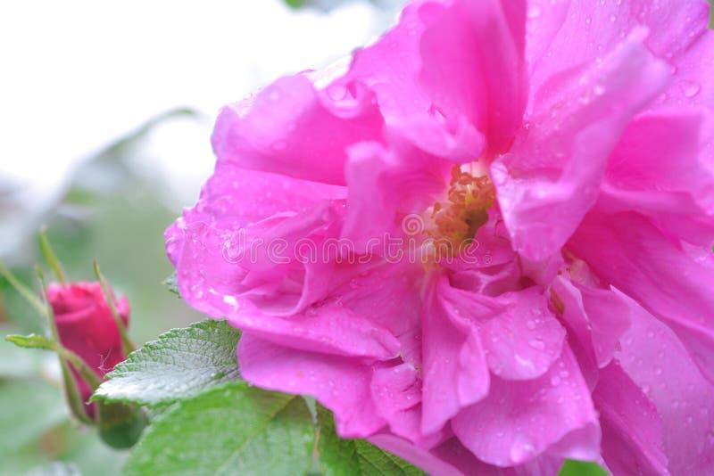 Różowy Dogrose, wrzosa eglantine kwiat Dziki Różany biodra zbliżenie obrazy royalty free